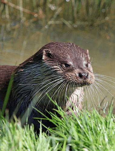 Eurasian-Otter-1