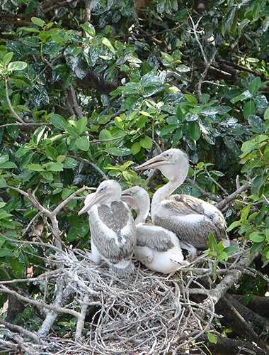 pelican-chicks